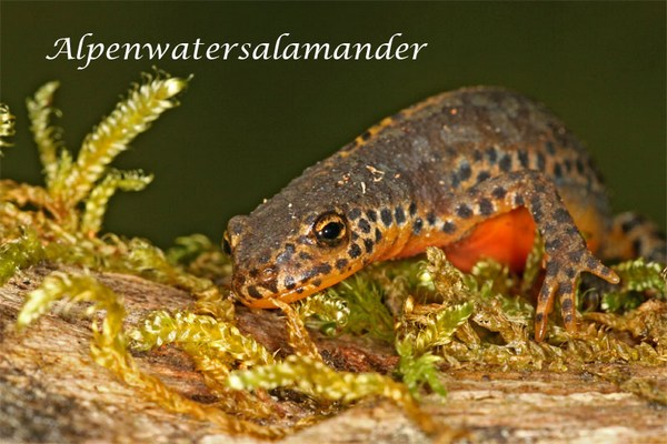 website alpenwatersalamander_7877 copy